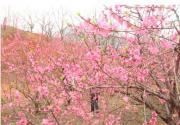 2013桂林恭城桃花節開幕 浪漫桃花等你來