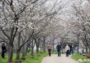 2013武大的櫻花開了