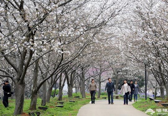 2013武大的樱花开了