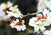 2013鹫峰梅花节 森林公园赏梅花