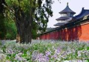 2013天坛公园二月兰开放