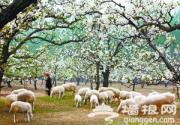 2013房山琉璃河梨花文化节周末开幕