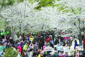 2013玉渊潭樱花进入盛开期