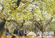 2013房山梨花节在京白梨大家族主题公园开幕