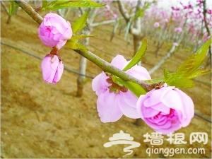 """平谷桃花节 桃树上开出""""五种花"""""""