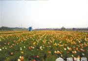 花仙子万花园虞美人节开幕 冰岛虞美人花海亮相通州
