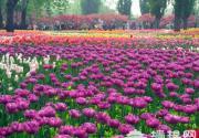 北京植物园万株郁金香盛放