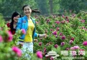 妙峰山樱桃沟村万亩玫瑰园花开了