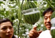 2013第二十五届北京大兴西瓜节5月28日开幕