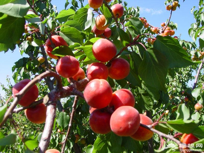 熟透的红杏。