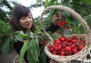 北京部分樱桃采摘园面临绝产 樱桃出现非正常开裂
