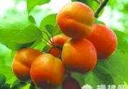 平谷北寨红杏文化节自驾采摘攻略