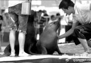 美洲海狮情侣惊艳北京海洋沙滩狂欢节