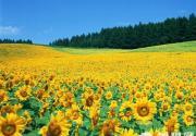 奥运森林公园百亩葵花预计本月底盛放