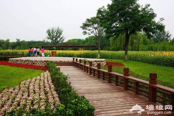 奥林匹克森林公园 夏日百亩葵花竞相放