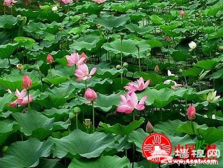 2013上海荷花节在古猗园开幕 荷花节时间、地点、及路线一览