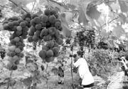 延庆县唐家堡葡萄熟了