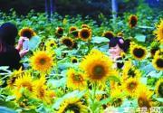 北京植物园向日葵今日观赏期