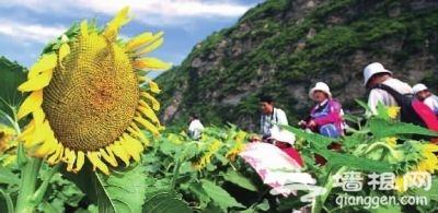 密云10万亩农田变身观光点 旅游收入有望增2成以上