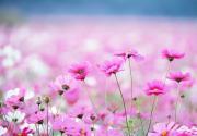 2013奥林匹克森林公园花卉观赏季--波斯菊展28日开幕