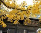京郊六大古寺赏银杏 周末出游好选择