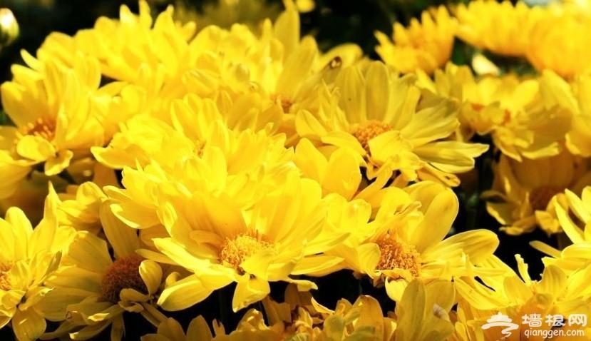 北京植物园菊花
