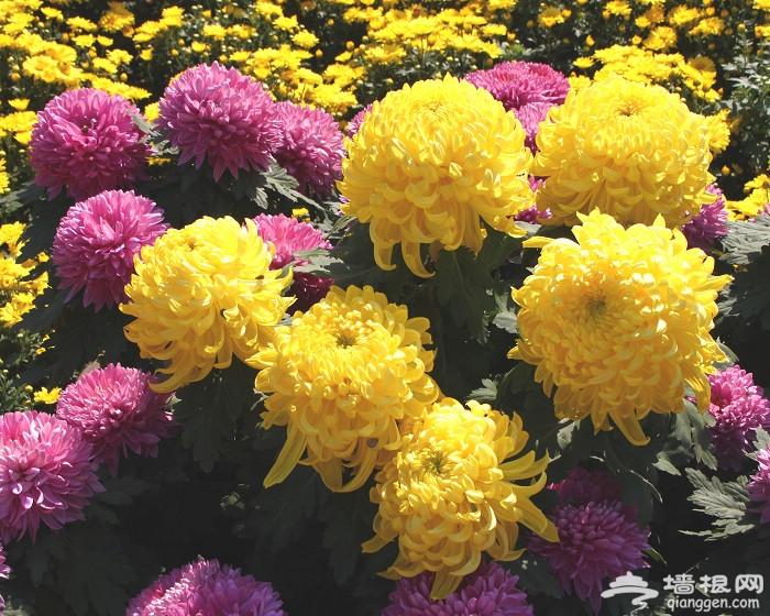 国际鲜花港菊花展