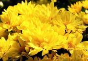 秋天北京旅游赏菊哪里好 北京三大赏菊好去处