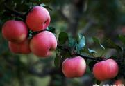 密云金秋旅游文化节系列活动之苹果采摘节正式启动