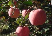 金秋京郊苹果采摘 到雁翅镇摘苹果