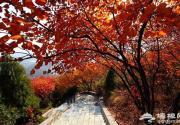 红螺山赏红叶 花团锦簇红似火
