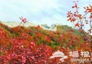 北京八达岭红叶岭预计周末红透