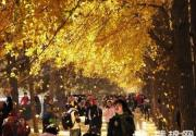 柠檬色秋天 北京最佳的12个银杏观赏地