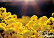 重阳过后 美食美景菊相伴