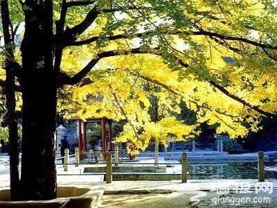 北京十二个银杏观赏地[墙根网]