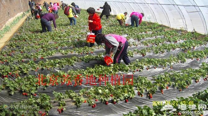 2014北京草莓采摘季 芳香缘草莓园迎客来[墙根网]