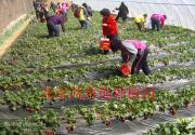 2014北京草莓采摘季 芳香缘草莓园迎客来