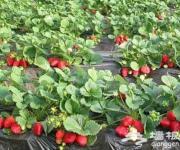 芳香缘草莓园