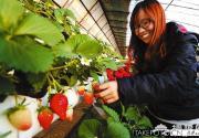 昌平草莓提前进入采摘季 元旦前约30万斤可上市