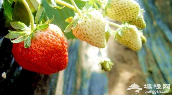 草莓采摘季 北京哪里可以摘草莓?[墙根网]
