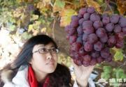 延庆反季节葡萄开始采摘
