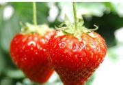 昌平兴寿镇 北京最大的草莓采摘基地