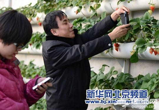昌平温室草莓进入最佳采摘期 吸引众多游客[墙根网]