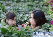 昌平温室草莓进入最佳采摘期 吸引众多游客