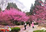 2014年上海梅花节2月在海湾国家森林公园举办