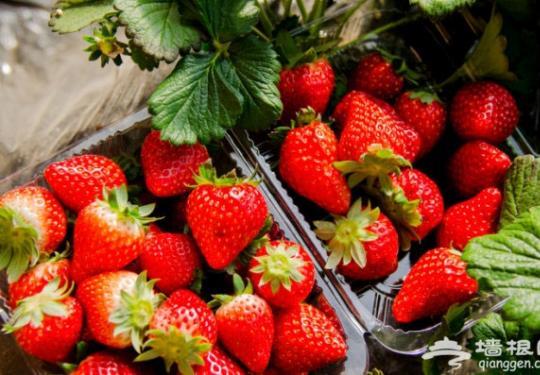 昌平草莓采摘园里的最美小萝莉