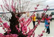 世界花卉大觀園梅花展 500多年古梅王亮相