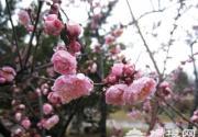 上海植物园早花梅花盛开