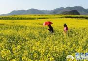 南方春来早 国内二月油菜花观赏指南