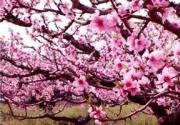 2014上海桃花节下月开幕